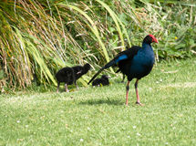 Pukeko - NZ Swamp Hen, with young Stock Photography