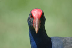Pukeko portrait Royalty Free Stock Image