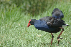 Pukeko Royalty Free Stock Images
