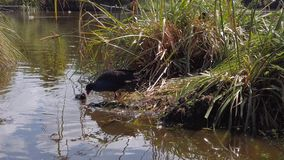 Pukeko pulling weeds out of water to build nest stock video footage