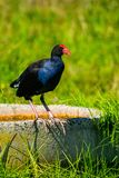 Pukeko. Sitting on edge of water well in the middle of grassy field royalty free stock photography