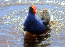 A Pukeko Splashing in a Pond. Pūkeko is the common name, derived from the Māori language, for the Purple Swamphen (Porphyrio porphyrio) of New Zealand royalty free stock photography