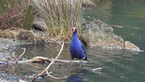 Pukeko swamp bird native to New Zealand stock video footage