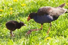 Pukeko y polluelo 01 Foto de archivo libre de regalías