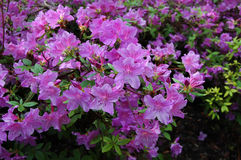 Pukhansky rhododendronlila Fotografering för Bildbyråer