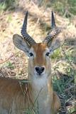 Pukku mâle Photos libres de droits