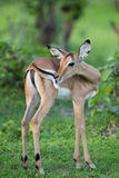 Puku. A high resolution image of a Puku in wild Africa Stock Photography