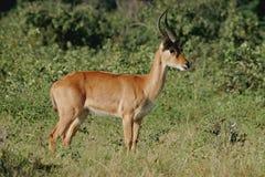 Puku antelope Stock Images