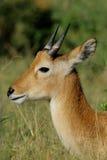 Puku antelope Royalty Free Stock Image
