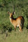 Puku antelope Royalty Free Stock Photos