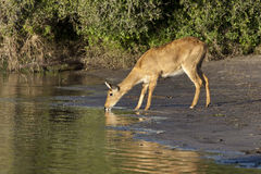 Puku Antelope - Chobe National Park - Botswana Royalty Free Stock Images