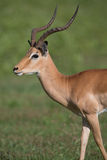Puku deer. A high resolution image of a Puku in wild Africa Royalty Free Stock Photo