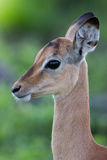 Puku deer. A high resolution image of a Puku in wild Africa Royalty Free Stock Photos