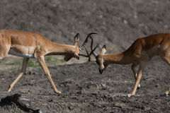 Puku deer rutting Stock Photos