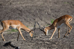 Puku deer rutting. A high resolution image of a Puku in wild Africa Royalty Free Stock Images