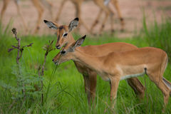 Puku grazing. A high resolution image of a Puku in wild Africa Royalty Free Stock Photography