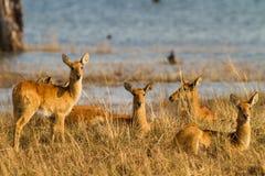 Puku (Kobus vardonii) herd. By water's edge stock photography