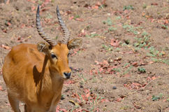 Puku portrait. Portrait of a puku standing on the African plain Royalty Free Stock Image