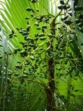 Pukui, uma planta no sul de China imagens de stock royalty free