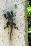 Pulando lagartos Fotografia de Stock