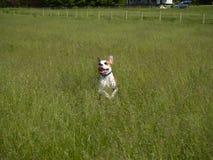 Pulando o cão na grama alta fotos de stock royalty free