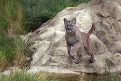 Pulando o leão de montanha Foto de Stock Royalty Free