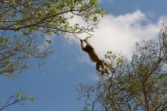 Pulando o macaco de Howler no pantanal, Brasil Imagem de Stock