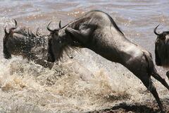 Pulando o Wildebeest Fotografia de Stock Royalty Free