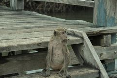 Pulau Rinca - Parc εθνικό Komodo - πίθηκος στοκ φωτογραφία