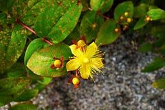 PULBLIC DOMAIN DEDICATION - digionbew 9. june 17-06-16 Yellow flower LOW RES DSC00340 Stock Image