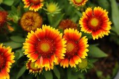 Pulchella Foug, flor combinada del Gaillardia Imagen de archivo