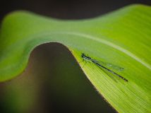 Pulchellum de Coenagrion Image stock