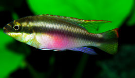 Pulcher de Pelvicachromis Imagen de archivo libre de regalías