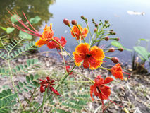 Pulcherrima Caesalpinia или красные цветки Стоковое Изображение