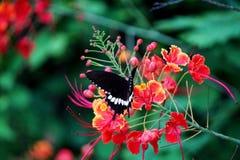 Pulcherrima Caesalpinia Стоковая Фотография RF