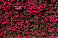 Pulcherrima del euforbio natural como fondo Imagen de archivo libre de regalías