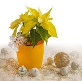 Pulcherrima jaune d'euphorbe de poinsettia photos stock