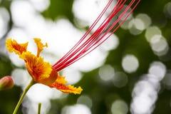 Pulcherrima van Caesalpinia (Linn.) Swartz/CAESALPINIACEAE stock foto
