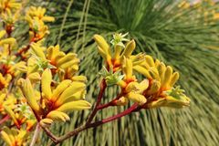 Pulcherrimus giallo di Anigozanthos del fiore della zampa di canguro davanti ad un grasstree fotografia stock