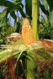 Pulchny żółty kukurydzany ucho Zdjęcie Stock