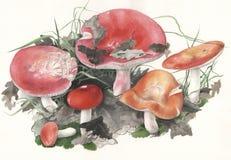Pulchra сыроежки гриба Стоковые Фотографии RF