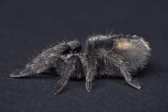 pulchra grammostola Стоковая Фотография