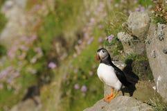 Pulcinella di mare, Scozia Immagini Stock Libere da Diritti