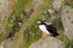 Pulcinella di mare, Scozia Fotografia Stock