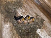 Pulcini affamati dello Swallow di granaio Fotografie Stock Libere da Diritti