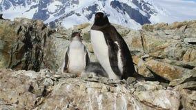 Pulcini d'alimentazione del pinguino femminile di Gentoo in nido video d archivio