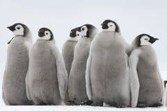 Pulcini dei pinguini di imperatore su ghiaccio fotografia stock libera da diritti