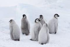 Pulcini dei pinguini di imperatore su ghiaccio fotografie stock libere da diritti
