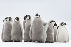 Pulcini dei pinguini di imperatore su ghiaccio fotografia stock