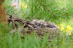 Pulcini del merlo in un nido su un pino Fotografia Stock